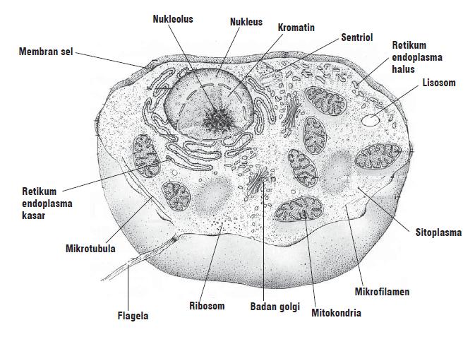 Gambar bagian-bagian sel hewan
