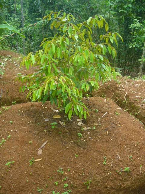 Cara Perawatan  Menyuburkan Tanaman Durian  NusaTanicom