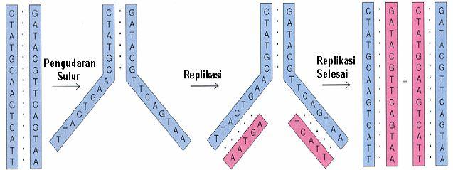 Proses replikasi DNA: Replikasi menghasilkan DNA baru yang mempunyai urutan nukleotida persis sama dengan DNA lama.