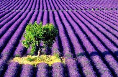 Malinalli herbolaria m dica lavanda lavender - Lavanda clima ...