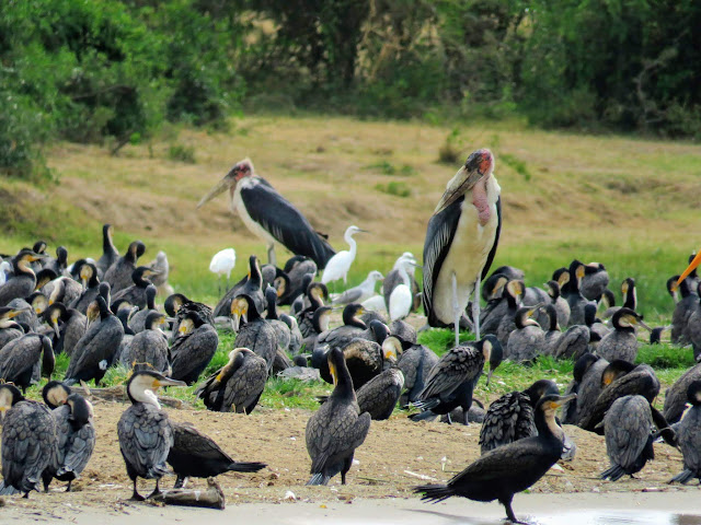 Marabou storks in a flock of other water birds on the Kazinga Channel in Uganda