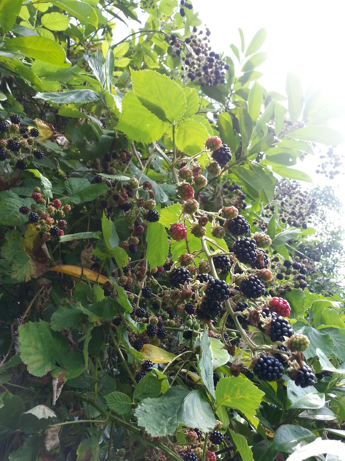 The Bicycle Gardening Chronicles Himalayan Blackberry Warriors