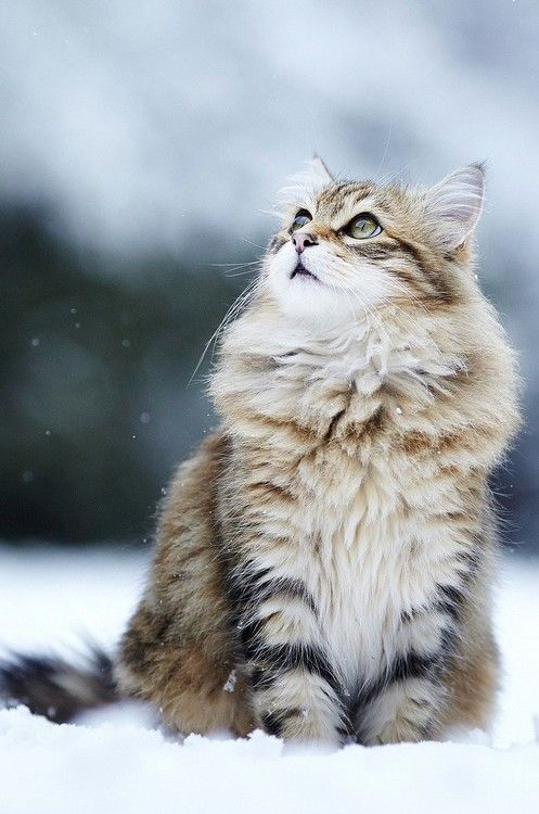beautiful cat looking up in winter snow