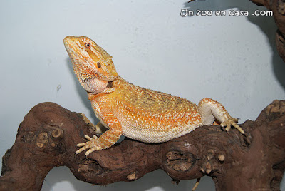 Pogona vitticeps orange