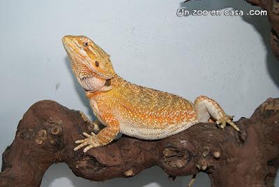 Dragón barbudo (Pogona vitticeps)