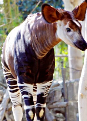 Amazing facts Okapi