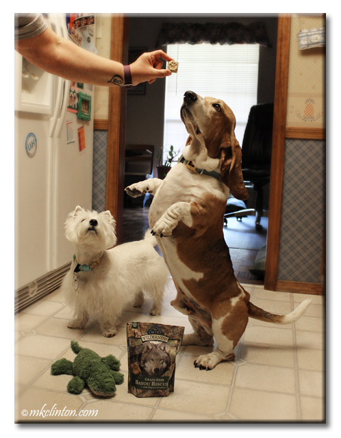 Basset Hound on hind legs trying to get Blue Wilderness Bayou Biscuit with Westie watching