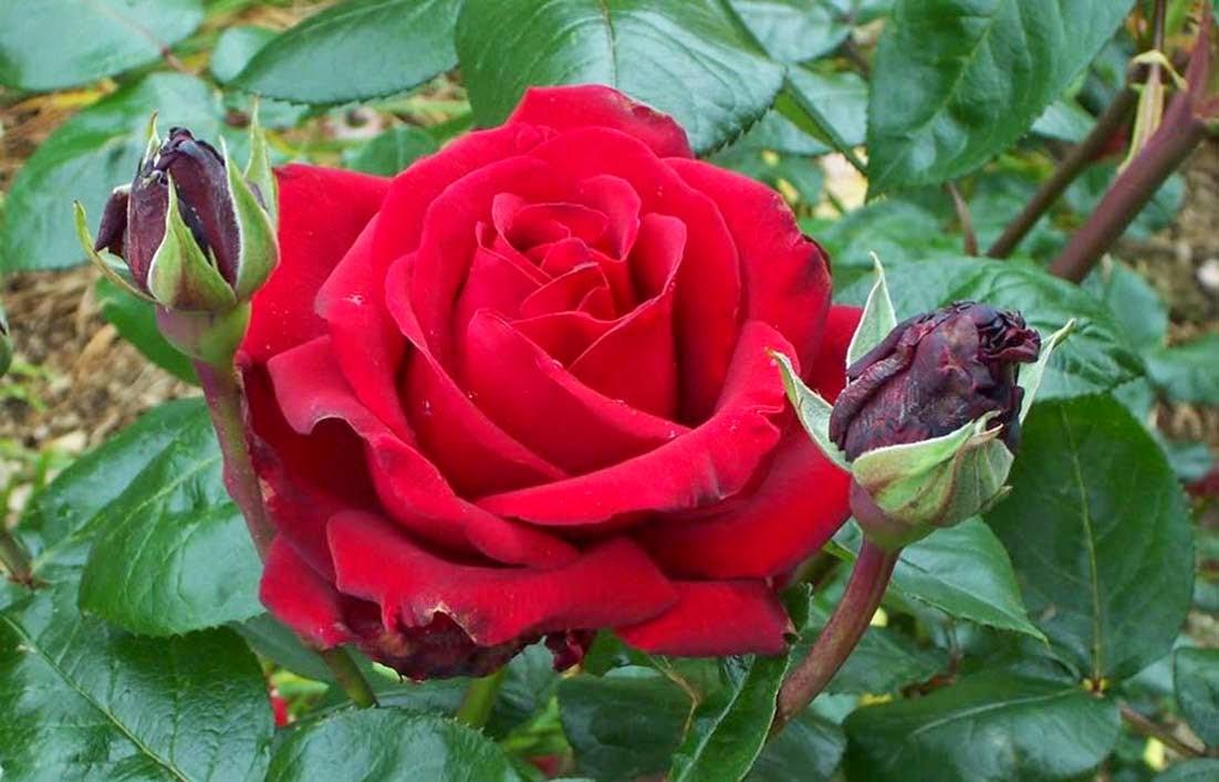Manfaat Bunga Mawar Untuk Kecantikan dan Kesehatan