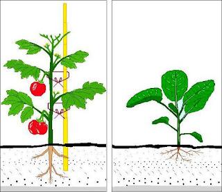 Tomateiro (Primavera-Verão) e Couve-Nabiça (Outono-Inverno)