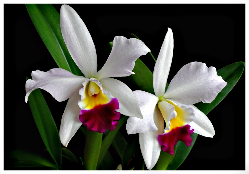 растение орхидея