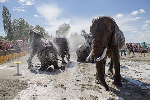 Elefántfürdetéssel indul idén a Cirkuszok Éjszakája