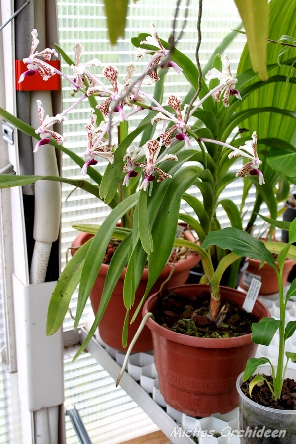 orchidee vanda probleme