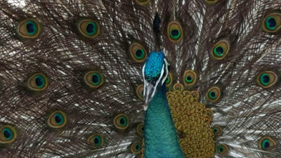 wordless wednesday peacock feathers