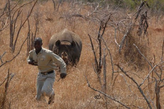 وحيد-القرن-اخطر-حيوان-في-العالم