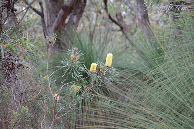Young banksia tree