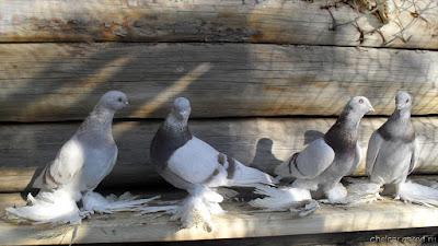 Agaran Pigeon images - Агаран