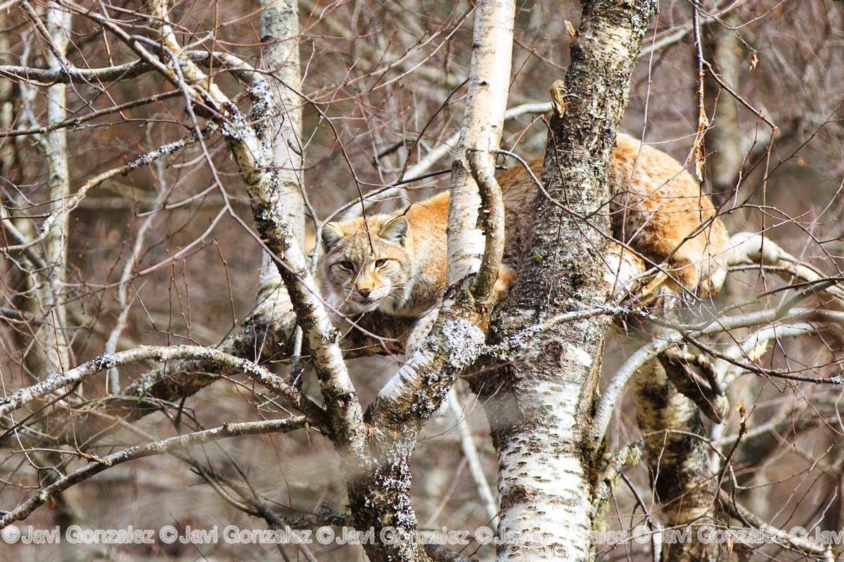 Lince, animales, Pirineo, Vall d'Aran, Lynx lynx