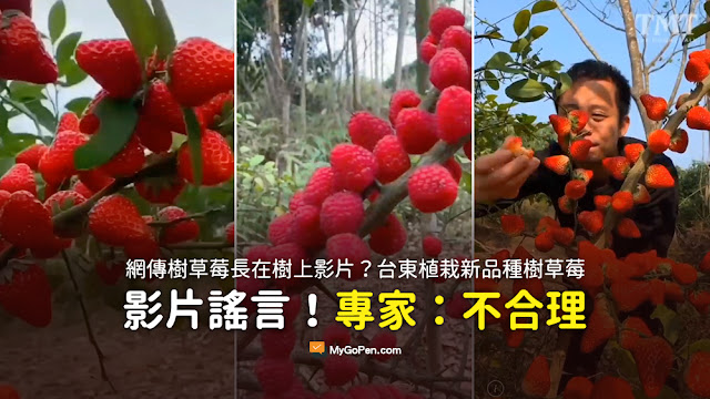 樹草莓 影片 台東新品種草莓 這是台灣台東縣植栽新品種樹草莓 謠言