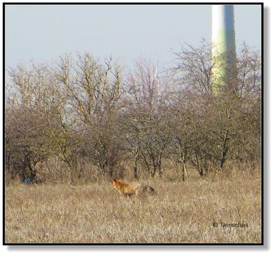 Fuchs beobachten