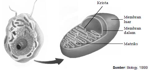 Nama Bagian Bagian Organel Sel Dan Fungsi Dari Nukleus Inti Sel Retikulum Endoplasma Ribosom Badan Golgi Mitokondria Lisosom Sentriol Plastida Vakuola Dan Dinding Sel Materiedukasi Com