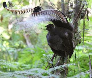 4 Audio Tambahan Suara Burung Lyrebird Mantep Tenan