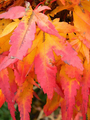 Acer palmatum Mikawa Yatsubusa Japanese maple autumn foliage Toronto Botanical Garden by garden muses-not another Toronto gardening blog