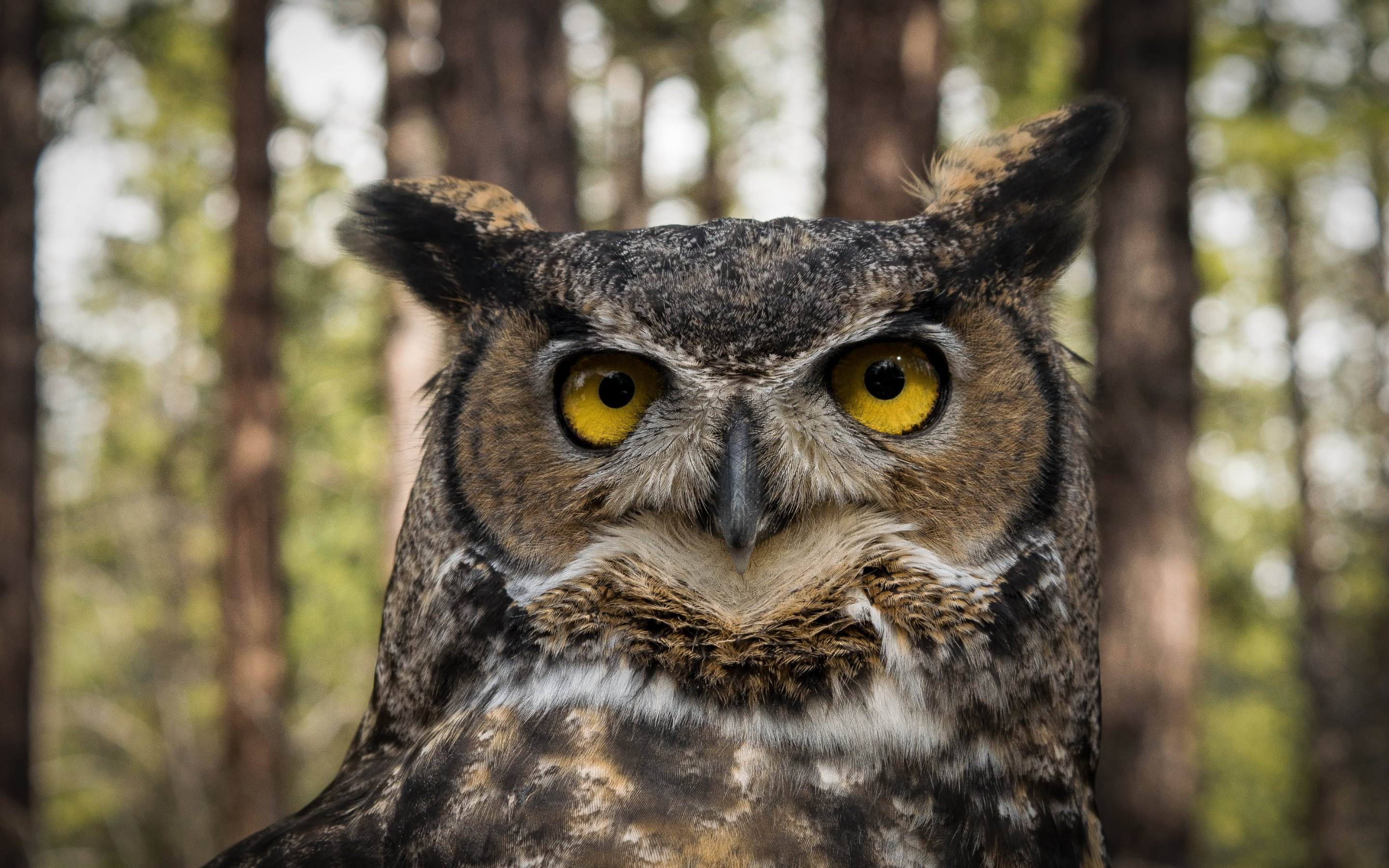 hd great horned owl - photo #9