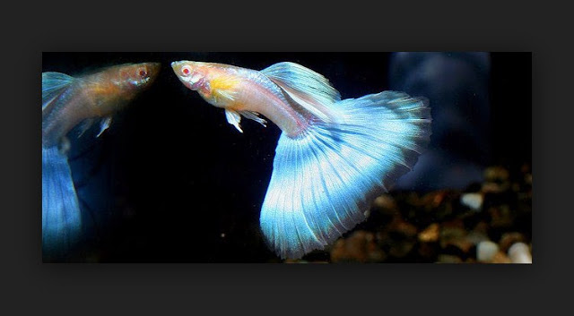 Dunia Ikan Hias - GUPPY JAPAN BLUE