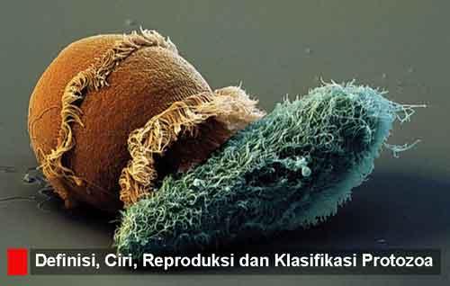 Protozoa (protista mirip hewan): Pengertian, 12 Ciri, Reproduksi, Klasifikasi dan Contohnya