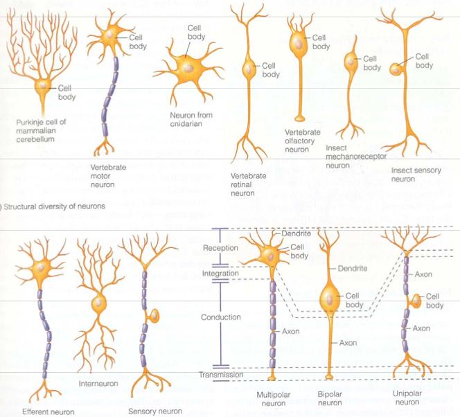 Neuron Transmission - Nerve - Lecture 175