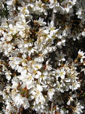 Weeping American Plum Prunus americana blooms at Mount Pleasant Cemetery by garden muses--not another Toronto gardening blog