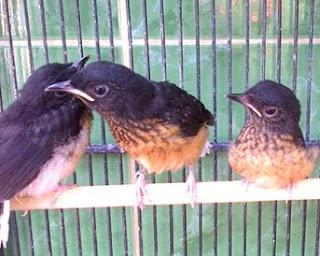 Burung Murai Batu - Prospek Penangkaran Burung Murai Batu yang Masih Populer, Empat Alasan Kenapa Harus Menangkarkan Burung Murai Batu - Penangkaran Burung Murai Batu