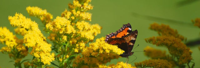 nokkosperhonen, butterfly, perhonen, kesä, summer, keltainen, yellow, yellow flower, keltainen kukka, suomi, finland, elokuu