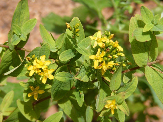 Solsticing with St. John's Wort
