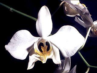 Anggrek Bulan (Phalaenopsi)