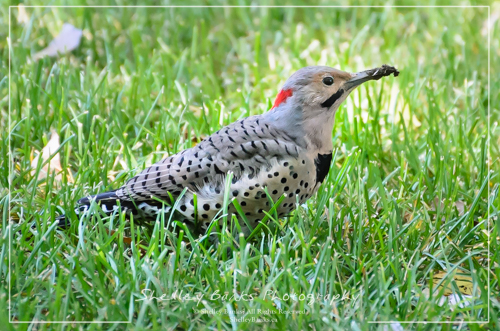 Northern Flicker (yellow shafted). Copyright © Shelley Banks, All Rights Reserved.