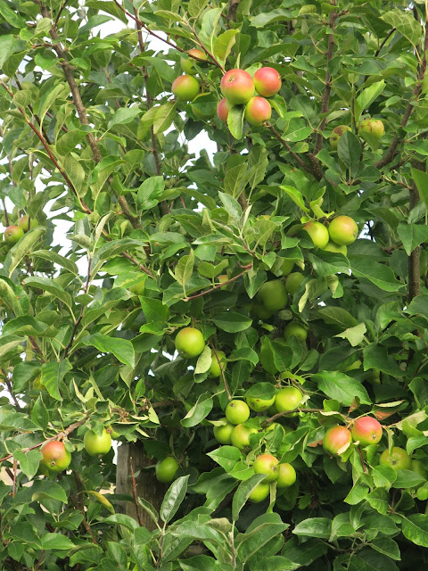 Apples ripening on espaliered tree.
