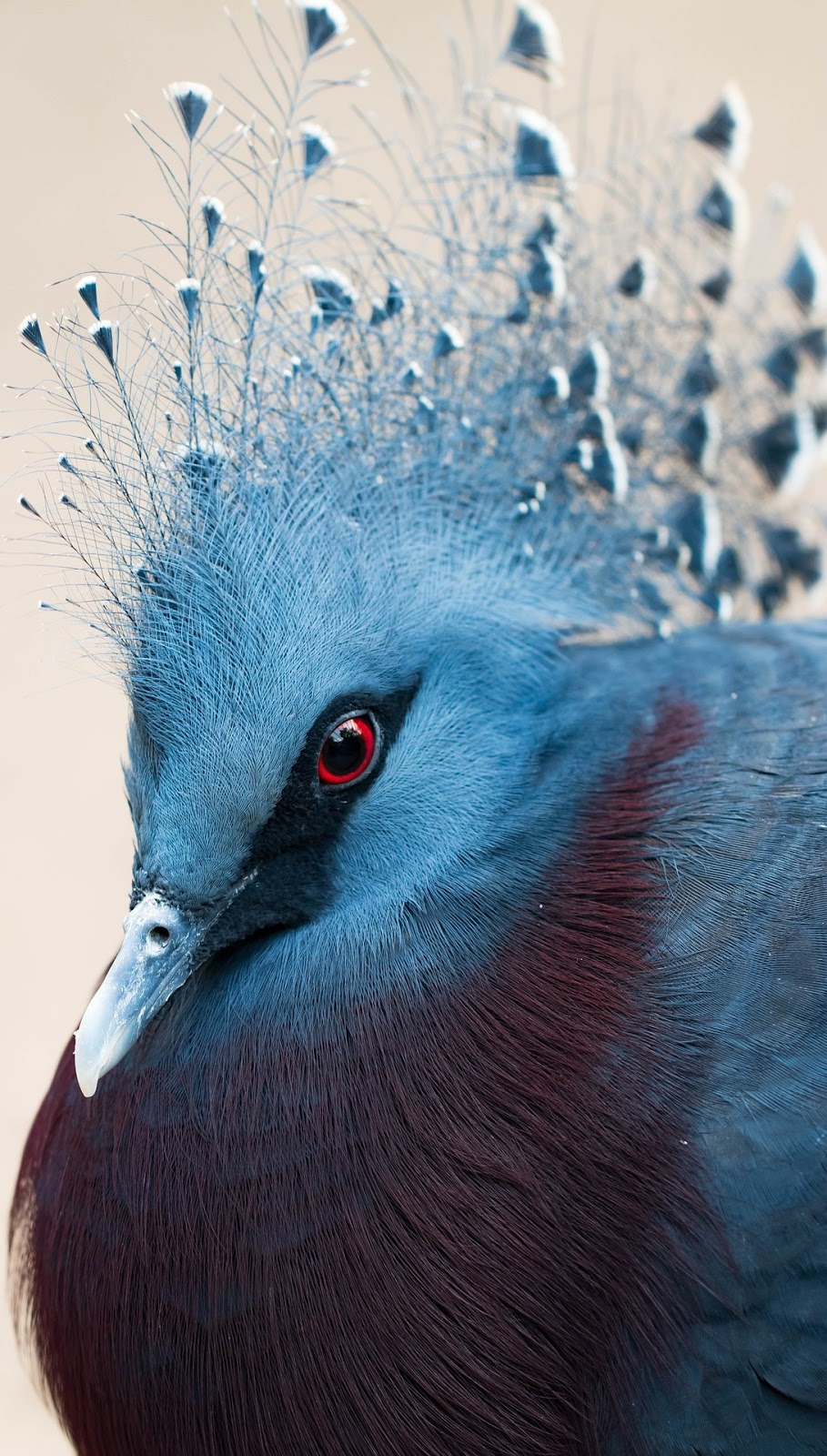 Crested pigeon head shot.