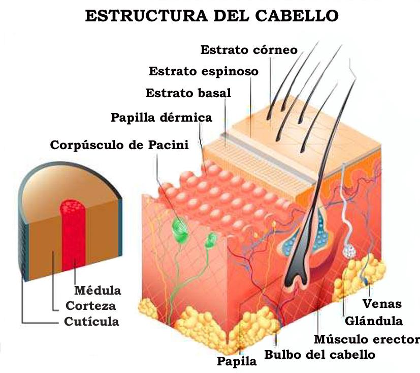 La Estructura del Cabello ~ HENNA RADICO GUATEMALA