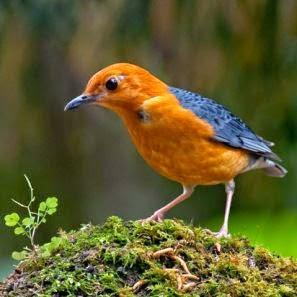 Cara Agar Burung Anis Merah Cepat Gacor
