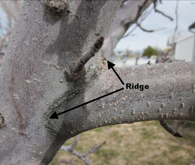 Ridge on an Apple Tree