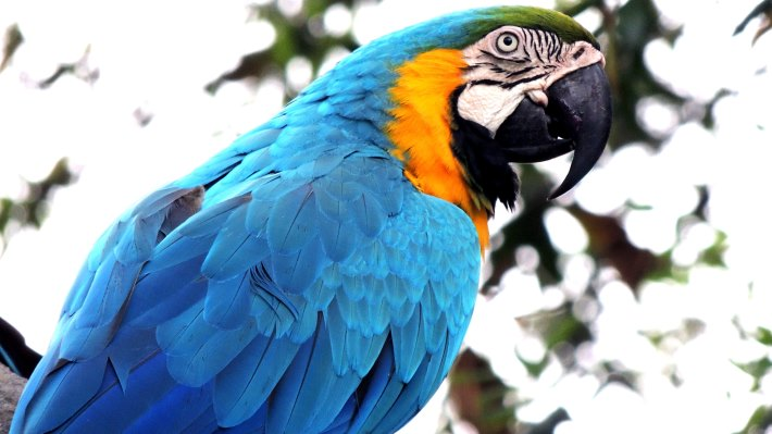 Wallpaper 3: Macaw Parrot