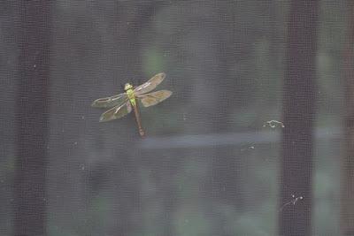 September dragonfly