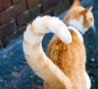 Kuyruğunu sallayan bir kedinin arkadan görünüşü