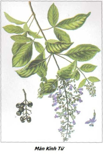 Hình ảnh Màn Kinh Tử - Vitex trifolia - Nguyên liệu làm thuốc Chữa Cảm Sốt