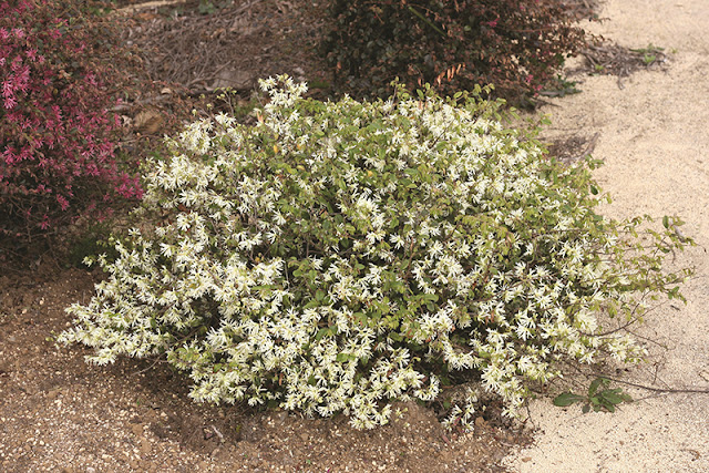 Jazz Hands Dwarf White Loropetalum from Proven Winners ColorChoice
