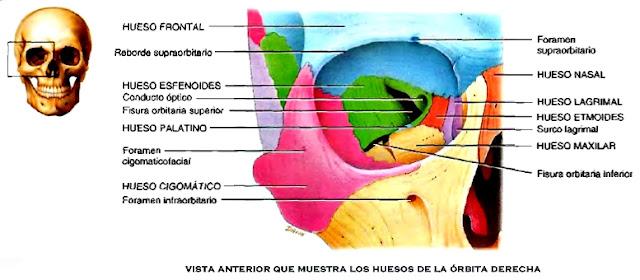 Anatomía cráneo órbitas cara