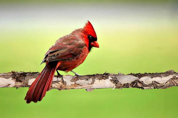 طيور نــادرة رائــــــعة eastern-cardinal_539