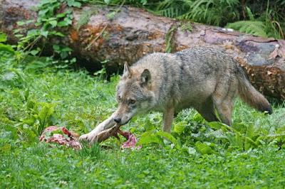 Hargita megye, vadállatok, farkastámadás, medvetámadás, állattenyésztés