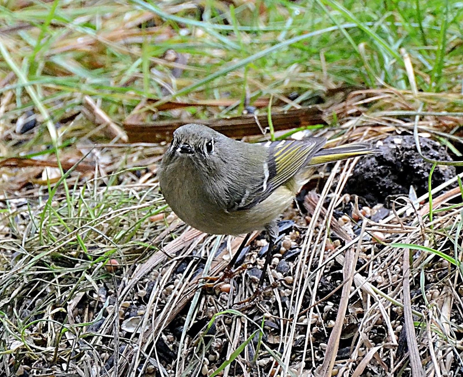 Oregon Backyard Birds, etc.